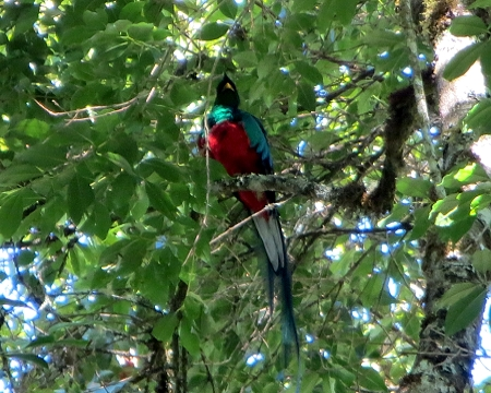 quetzal sighted near Copey costa rica